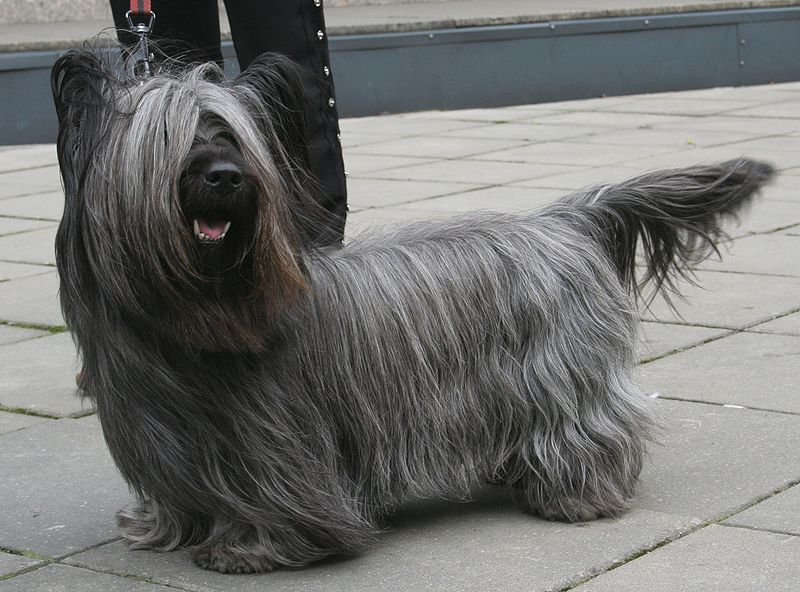 Skye Terrier (via Wikipedia)